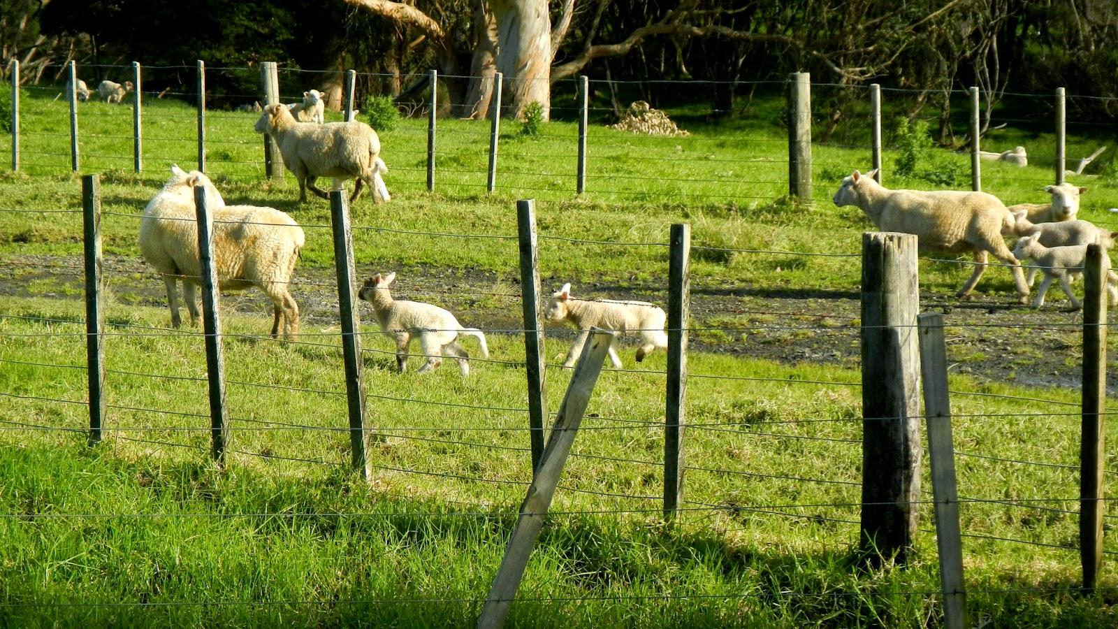 sheep-te-paki
